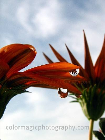 Gazania reflection