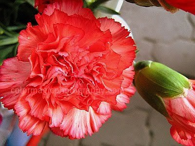 Red carnation flower close-up