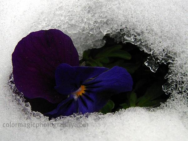 Violet pansies under snow - macro