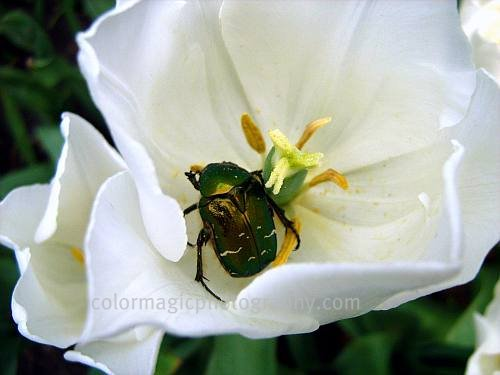White tulip with a rose chafer-macro