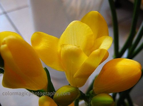 Yellow freesias-close-up photo