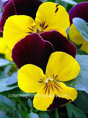 Yellow-purple pansies