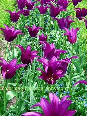 Purple Dream - lily tulips