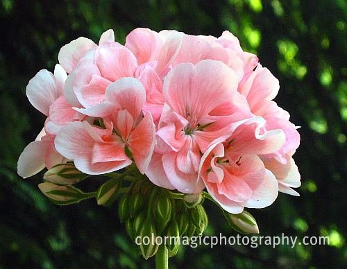 Beautiful pink geraniums
