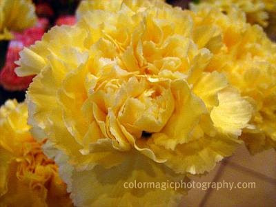 Yellow carnation flower-macro