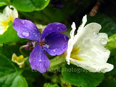 Violets-wildflowers in the rain