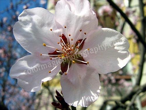 Pink cherry blossom-macro photography