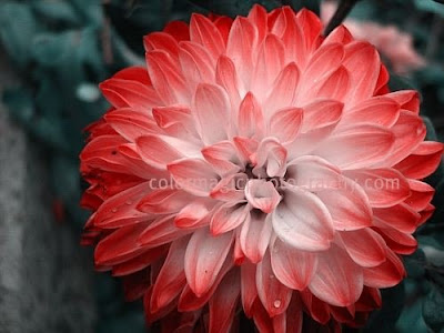 Red-pink dahlia-close-up photo