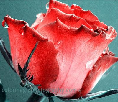 Red-pink rose with raindrops-macro