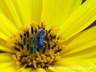 yellow Sunroot flower with some bug-close up