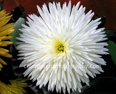 image of a white chrysanthemum