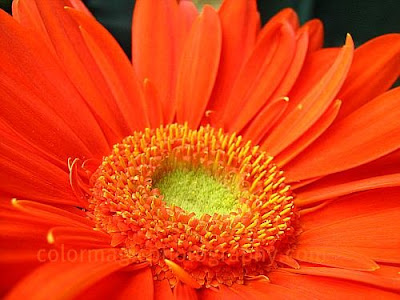 Middle of Gerbera-macro