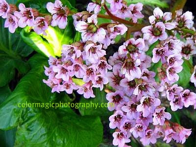 Bergenia flowers-close-up