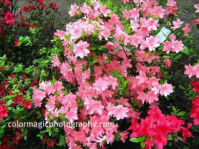 Pink and red Azalea shrub