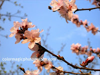 Plum blossoms-closeup