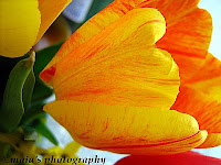 Yellow tulip-macro photo