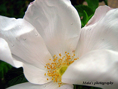 White wild rose with bright yellow stamens-close up