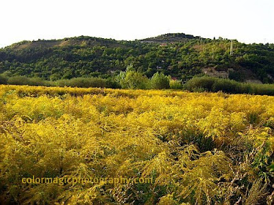 Yellow fields of Goldenrod