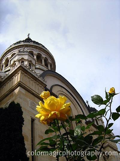 Yellow rose in front of the church