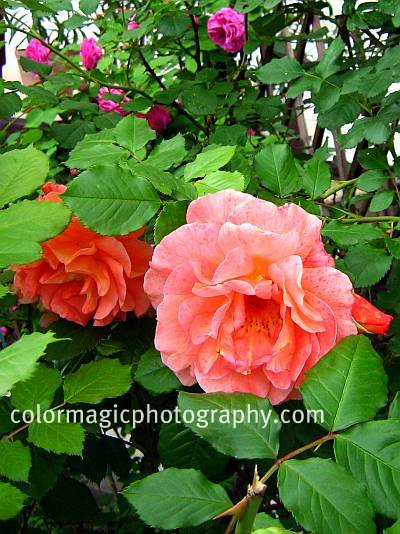 Orange climbing rose bush