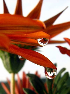 Gazania reflected