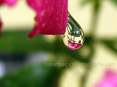 Rose reflection in raindrop