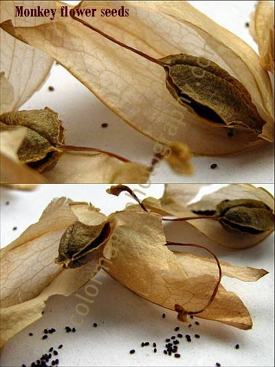 Monkey flower seeds