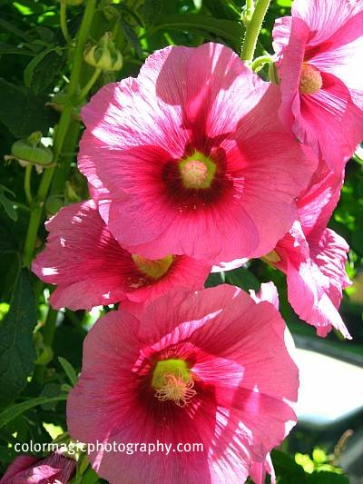 Dark pink hollyhock