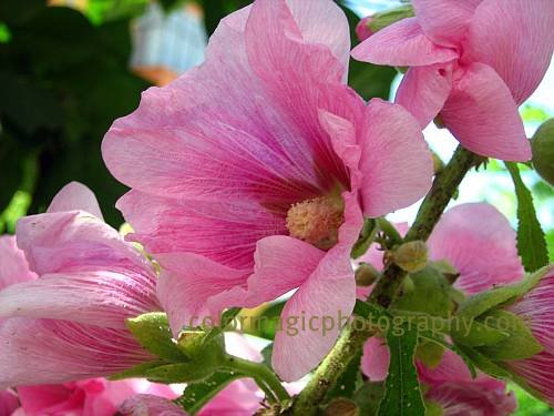 Pink hollyhock close-up