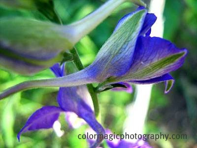 Larkspur flower bud