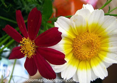 Dark red Cosmos and white aster