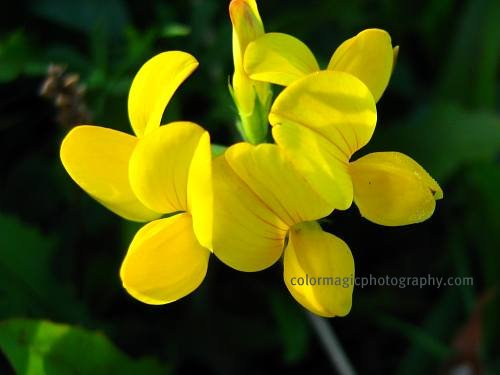 Yellow flower-Lotus corniculatus macro