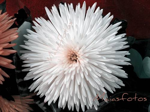 White Chrysanthemum-macro photo