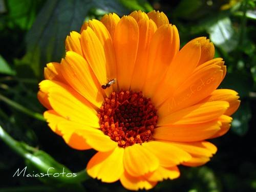 Pot Marigold-Calendula officinalis