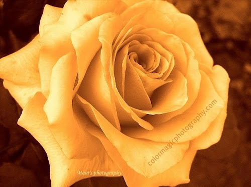 Yellow rose head- macro photography