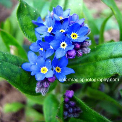 Forget me not-closeup