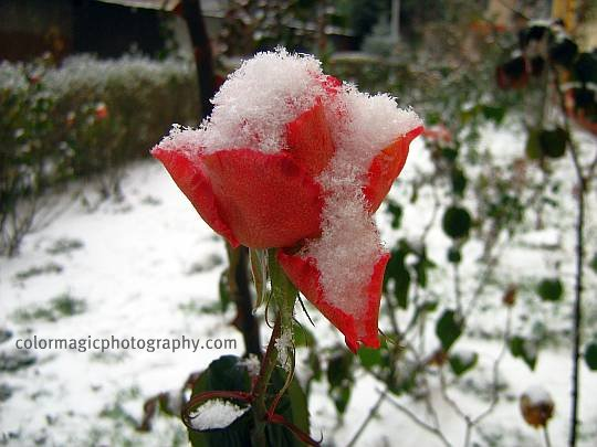 Red rose in December snow