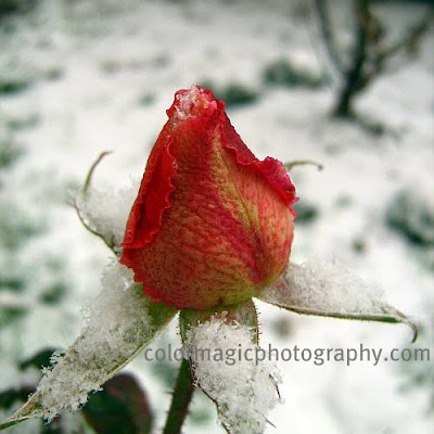 Rose bud in snow