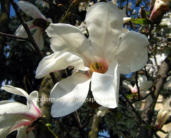 Mountain Magnolia flower-closeup macro