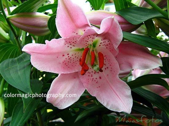 Close-up photograph of beautiful, pink Asiatic lily flower head