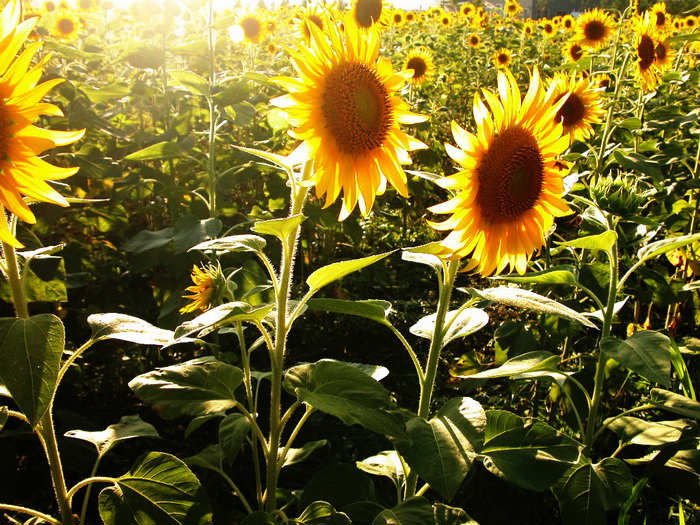 Beautiful Sunflower Photos