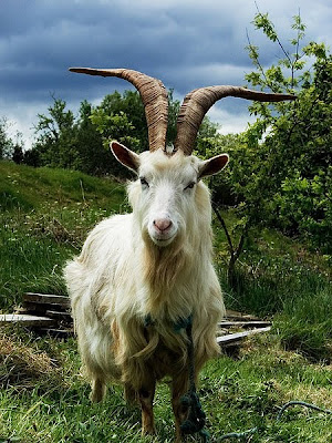 sport life: Worlds Most Amazing-Looking Goats