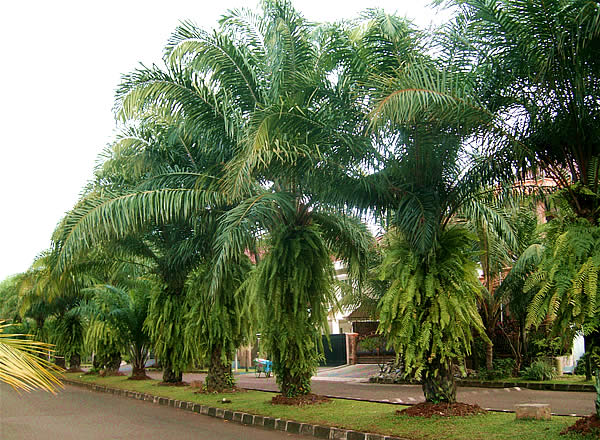 Street Palm Trees For Landscape Ideas on Palm Tree Backyard Ideas id=11924