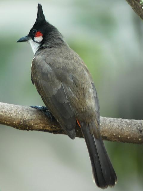 Haldya Bird