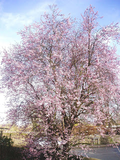 Life On An Oxfordshire Lawn Myrobalan Plum Prunus Cerassifera Nigra