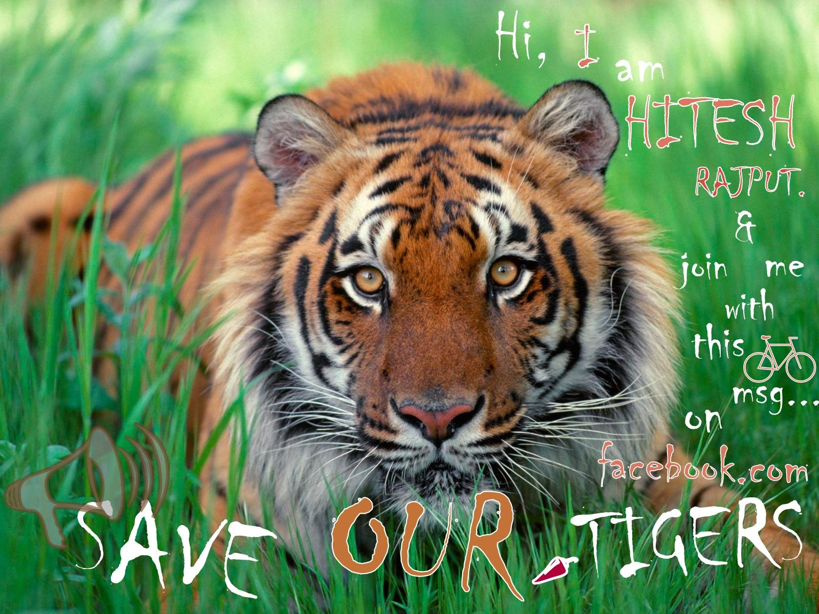 Short Essay on – Save Tigers (463 Words)