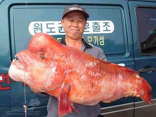 Fish Tanx: Giant Flowerhorn?