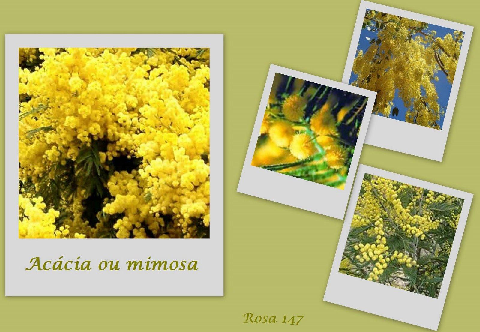 [acácia+ou+mimosa.jpg]