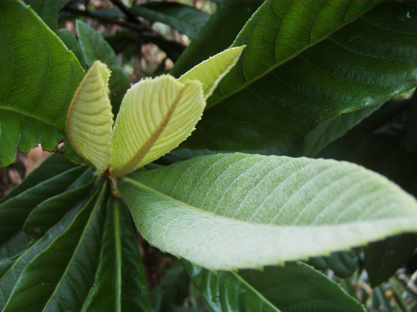 Loquat+leaf.JPG