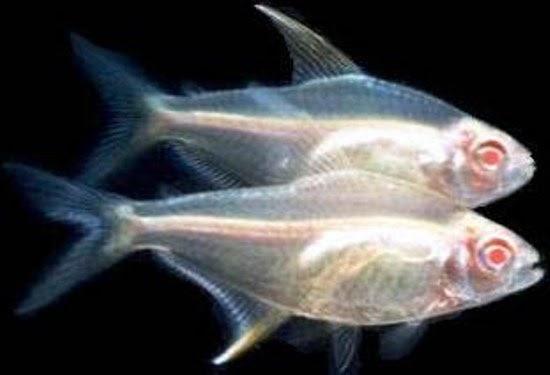 Tetra: Hyphessobrycon Pulchripinnis (Tetra Limão Albino)